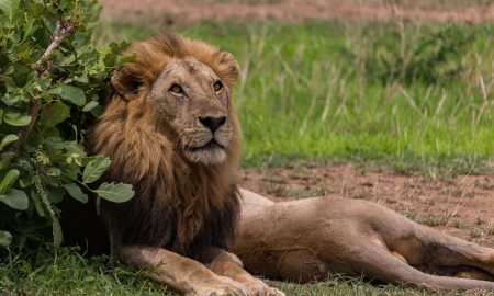 Safari in Mikumi national park in tanzania with a lion ready to attack.